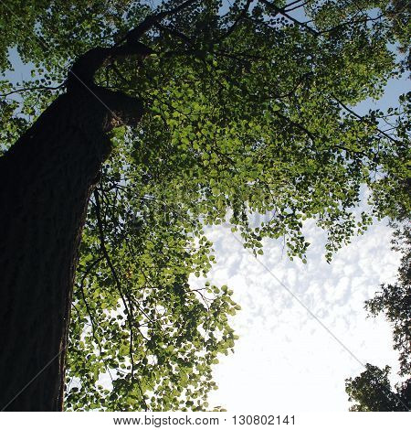 Looking Up Into The Trees. Bottom View. Aged Photo
