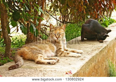 Semi-tame domestic cats (Felis catus) relax on a stone wall in the Andalusian Gardens at the edge of the ancient Kasbah of the Udayas in Rabat the capital city of Morocco.