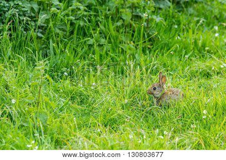 young European rabbit crouching in long grass