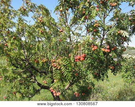 Sorbs in fruit tree . Tuscany Italy