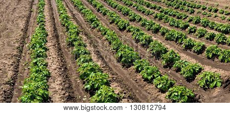 Panoramic View Of Rows Of Young Potato Plants On The Field