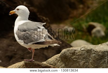 Western USA seagull standing on one leg