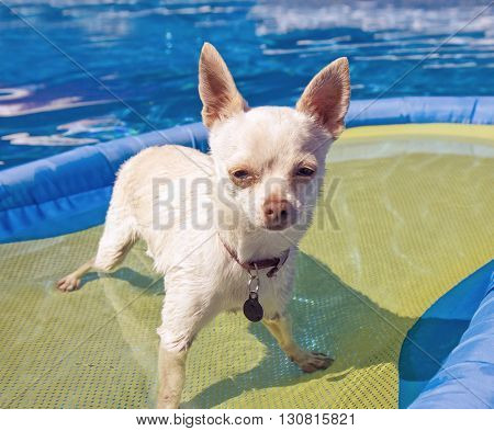 a cute chihuahua mix sitting in a blow up tube in a pool during summer toned with a retro vintage instagram effect app or action