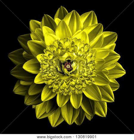 Surrealistic Fantasy Yellow Flower Macro Isolated On Black