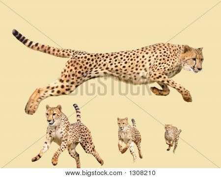 Cheetah Isolated