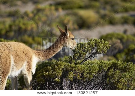 Adult vicuna (Vicugna vicugna) browsing on a bush in Lauca National Park on the Altiplano of north east Chile.
