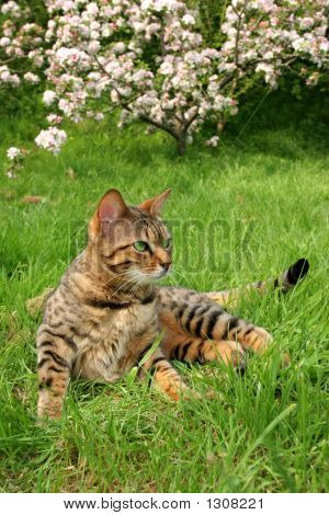 Bengail Cat