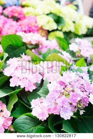 Pink and white fresh hortensia flowers with green leaves close up