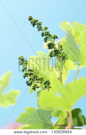 flowering of a grapewine on a blue sky sunny day