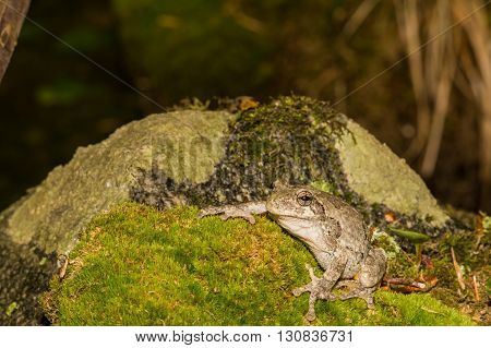 A Gray Treefrog crawling over a mossy stone.
