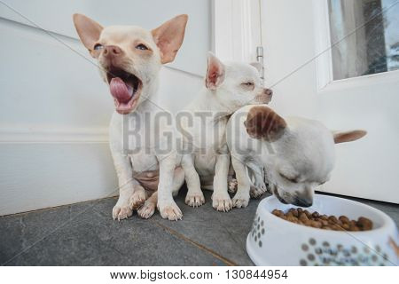 Portrait of three little chihuahua