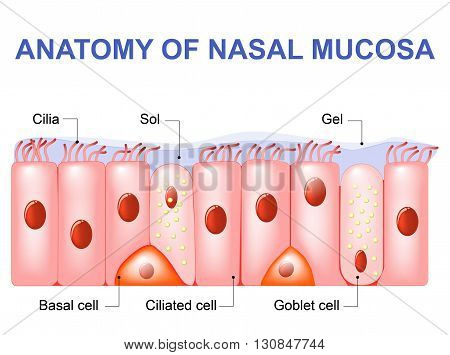 Nasal mucosa cells. Nasal secretions. Ciliated basal and goblet cells. Olfactory epithelium. Cells act as a low resistance filter