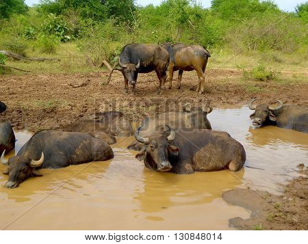 Udawalawe National Park, Sri Lanka, February 12, 2016: Buffalos in the Udawalawe National Park in Sri Lanka.