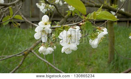 Cherry blossom flowers on the tree branch. Springtime awakening and summer concept.