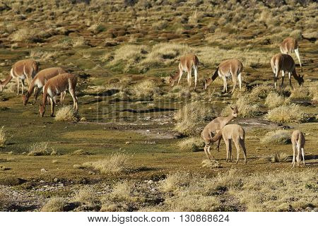Pair of young vicuna (Vicugna vicugna) play fighting amongst the herd on a wetland, or bofedal, in Lauca National Park on the Altiplano of north east Chile.