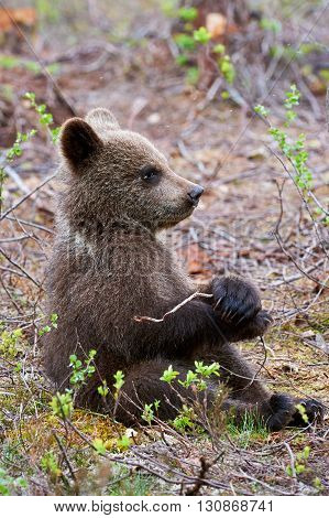 Brown bear cub sitting in the taiga Finnish plays with a small branch