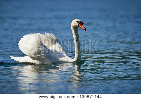 White swan swimming in the water of a cool river