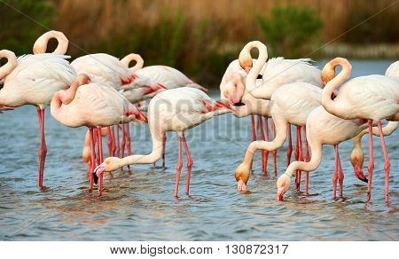 Greater flamingos group photographed in Camargue in summer