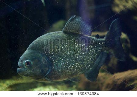 Red piranha (Pygocentrus nattereri), also known as the red-bellied piranha. Wild life animal.