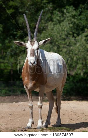 Scimitar oryx (Oryx dammah), also known as the Sahara oryx or scimitar-horned oryx. Wildlife animal.