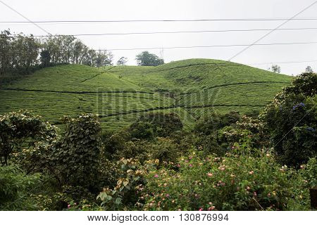 View of the scenic lush green landscape in the hills of Munnar. Munnar is a hill town on Western Ghats hills in Kerala. Plenty of lush green trees are seen on the Western Ghats hills.