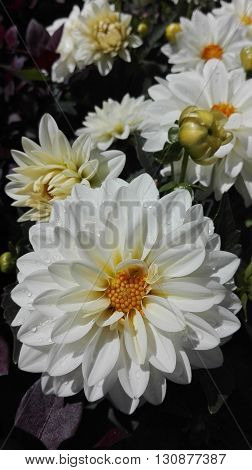 White and yellow Dahlia flowers with rain drops on their petals