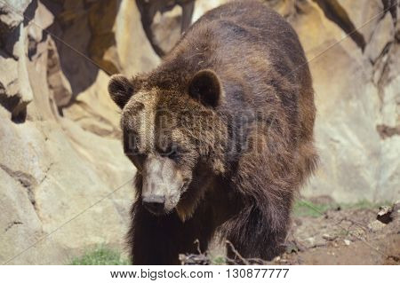 A large brown Grizzly bear enjoying the day