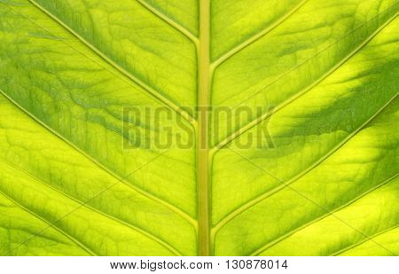 Green Leaf Texture With Light