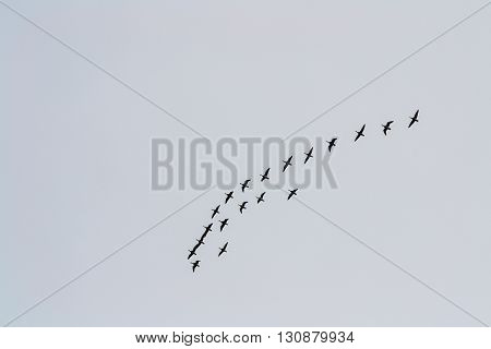 Goose flight going home after long winter
