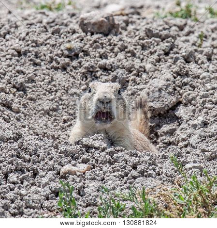 Angry prairie dog looking directly at camera