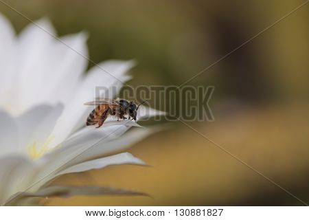 Honeybee, Apis mellifera, gathers pollen on a cactus flower in Southern California, United States.