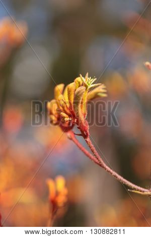 Yellow, orange and red Tall Kangaroo Paws flowers Anigozanthos flavidus blooms in a botanical garden in Australia
