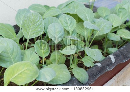 Chinese kale vegetable are growing in the plantation