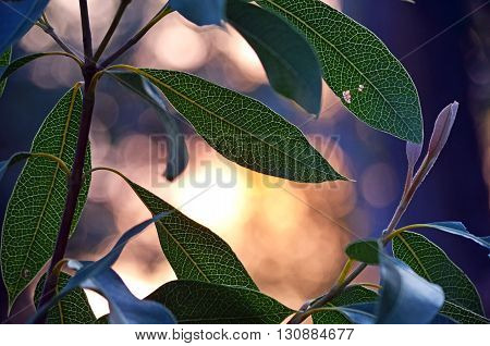 Waratah leaves backlit by sunlight at dusk