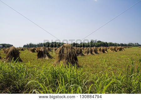 Freshly Harvested Hand-cut Amish Wheat Stacks left to dry in the fields.