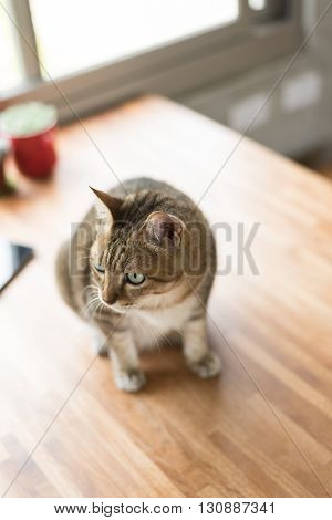 domestic tabby cat sit on the table in the house