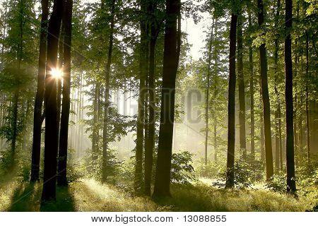 Morning sun falls into misty spring woods