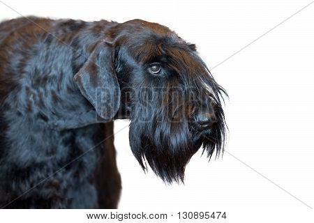 Schnauzer Dog Black Isolated On White