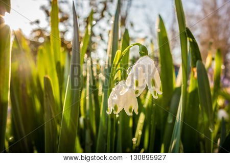 many snowdrop spring flowers that have bloomed