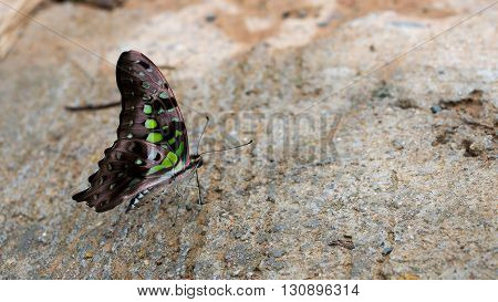 Brown color with the green spot butterfly