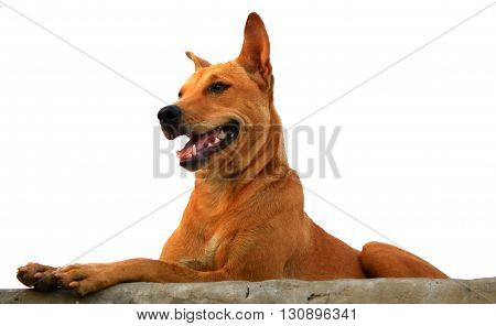 Thai Ridgeback Dog In Happy Emotion
