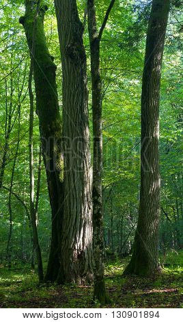 Old linden oak and maple trees od deciduous stand of Bialowieza Forest in springtime morning light, Bialowieza Forest, Poland, Europe