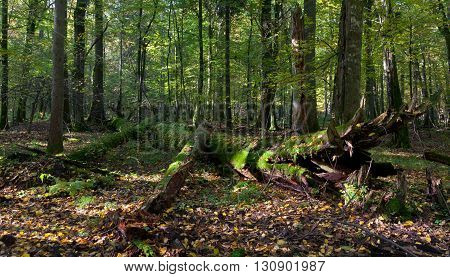 Old hornbeam tree broken lying in autumnal deciduous stand of Bialowieza Forest, Bialowieza Forest, Poland, Europe