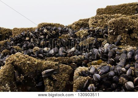 Muscles Clinging To The Rocks At Low Tide
