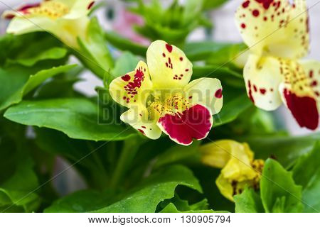 Flower Mimulus Macro