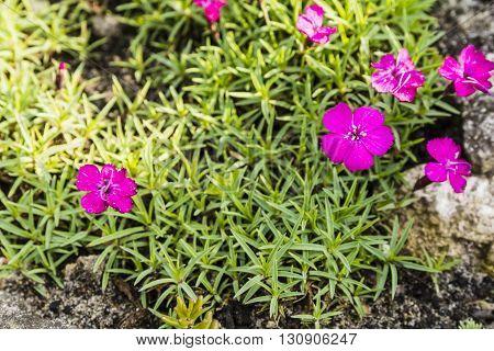Dianthus Alpinus L..