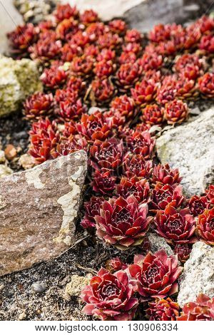 Sempervivum Arachnoideum  - Red Papaver.