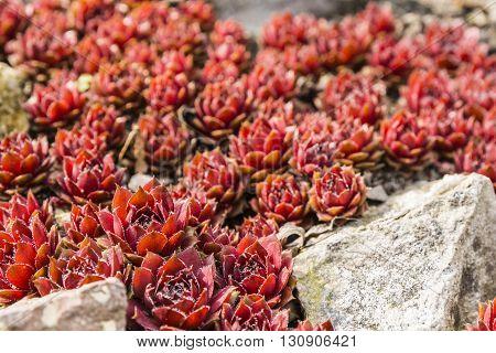 Rosette - Sempervivum Arachnoideum  - Red Papaver.