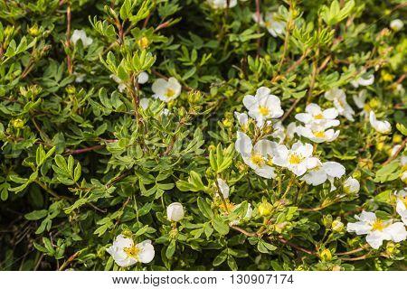 Potentilla Fruticosa L..
