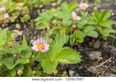 Strawberry - Fragaria X Comarum Pink Panda.